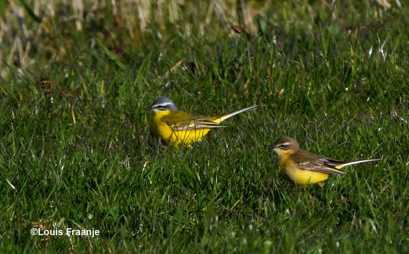 Echtpaar gele kwikstaart met links het felgele mannetje en rechts het vrouwtje - Foto: ©Louis Fraanje
