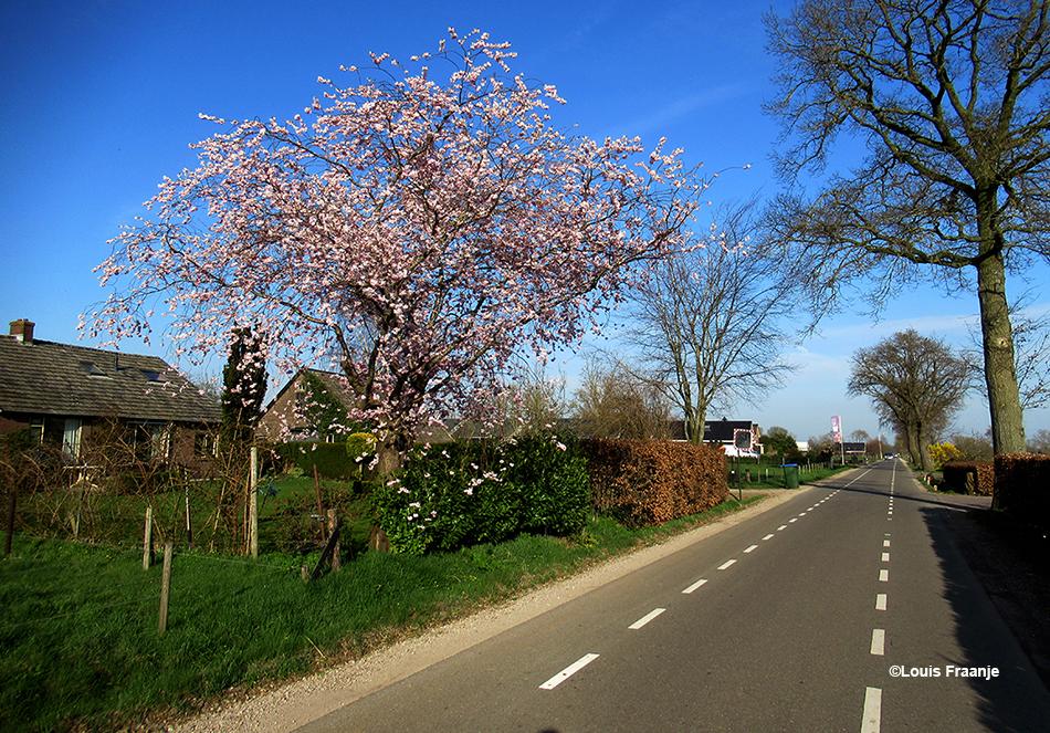 Dan de Nieuweweg op samen met de nieuwe Lente , die ons steeds een stapje voor is met haar bloeiende wimpels - Foto: ©Louis Fraanje