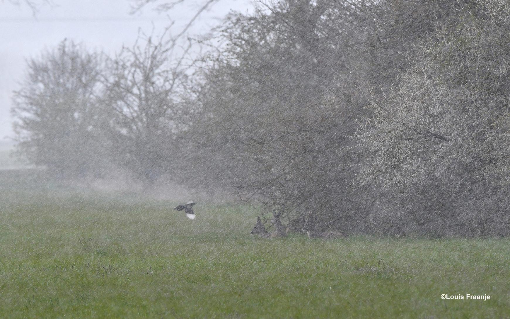 Door de sneeuw- en hagelbuien waren de reeën bijna onzichtbaar geworden - Foto: ©Louis Fraanje