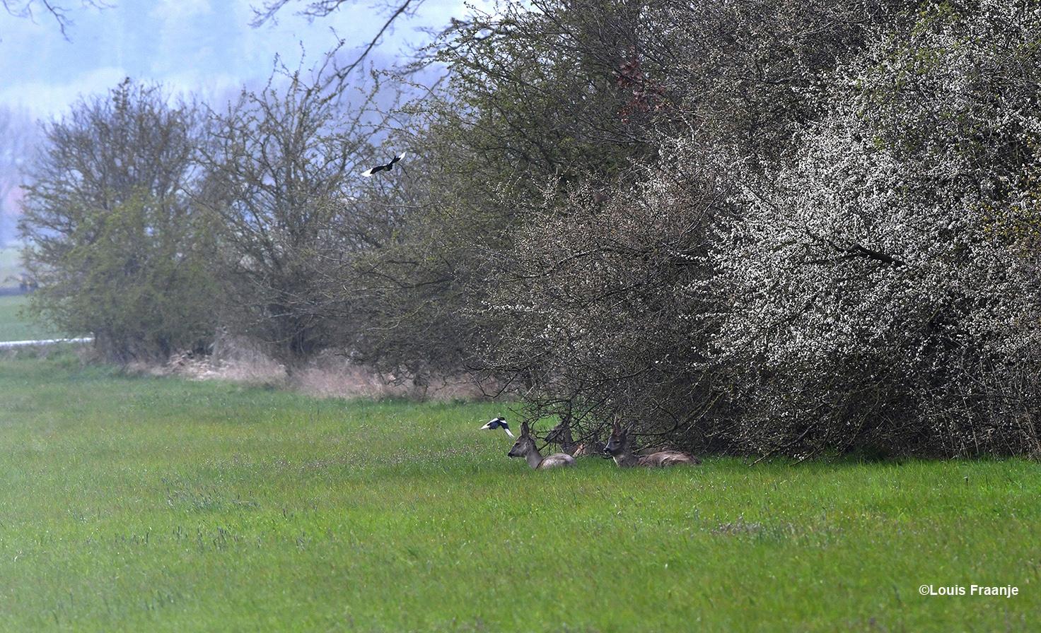 Toen het heel even droog was kwamen ze wat beter in beeld. Ook de bloeiende sleedoorn bleek niet gehavend te zijn. - Foto: ©Louis Fraanje