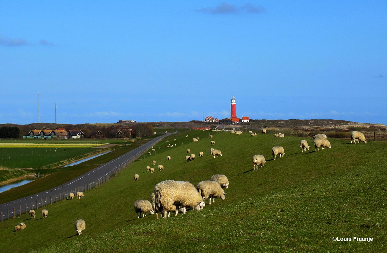 De vuurtoren bij De Cocksdorp en de schapen op de dijk, dat is toch ook Texel ten voeten uit - Foto: ©Louis Fraanje
