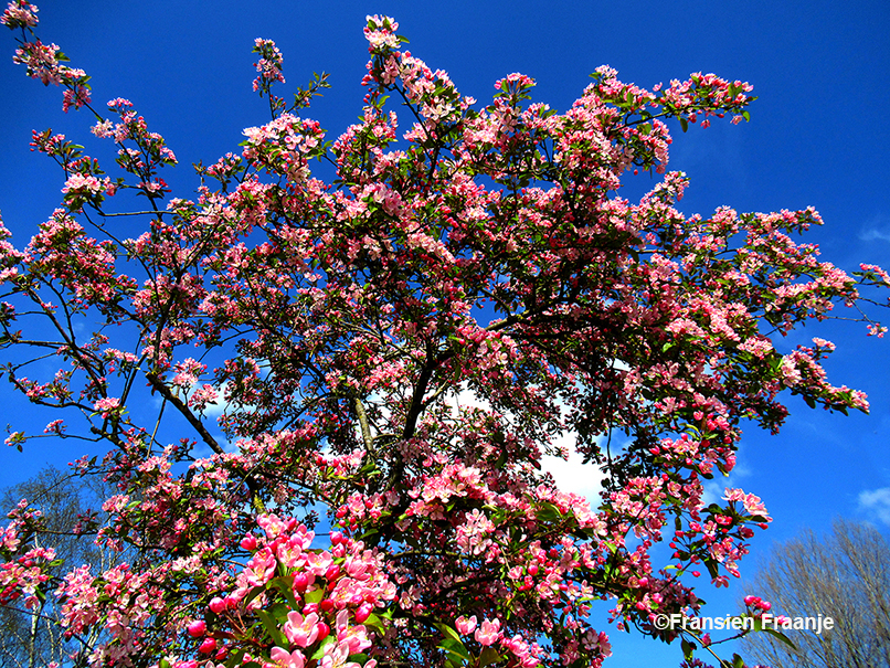 De prachtig bloeiende sierappel aan de Appenseweg 7 bij De zonnegaard in Voorst - Foto: ©Fransien Fraanje