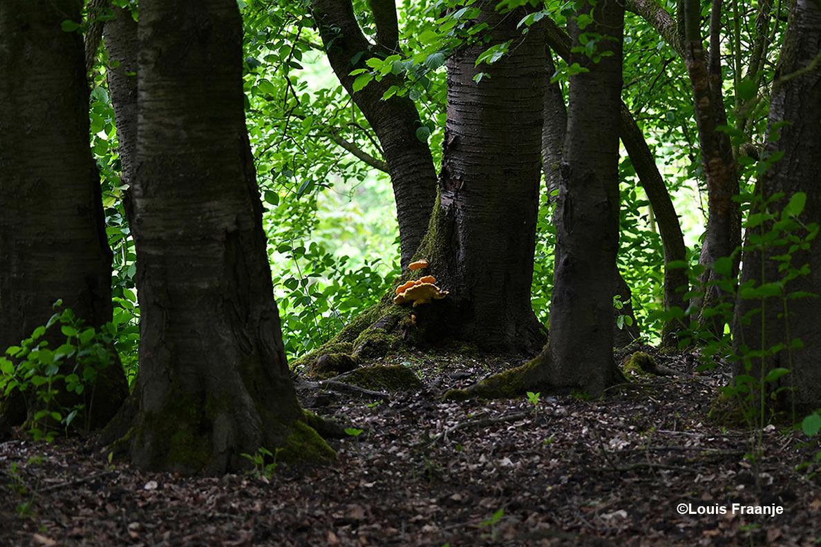De kans op vitale oudere bossen wordt steeds kleiner - Foto: ©Louis Fraanje