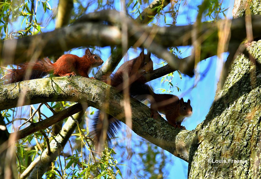 Tussen een wirwar van takken door, ontdekten we drie eekhoorns boven in de boom - Foto: ©Louis Fraanje