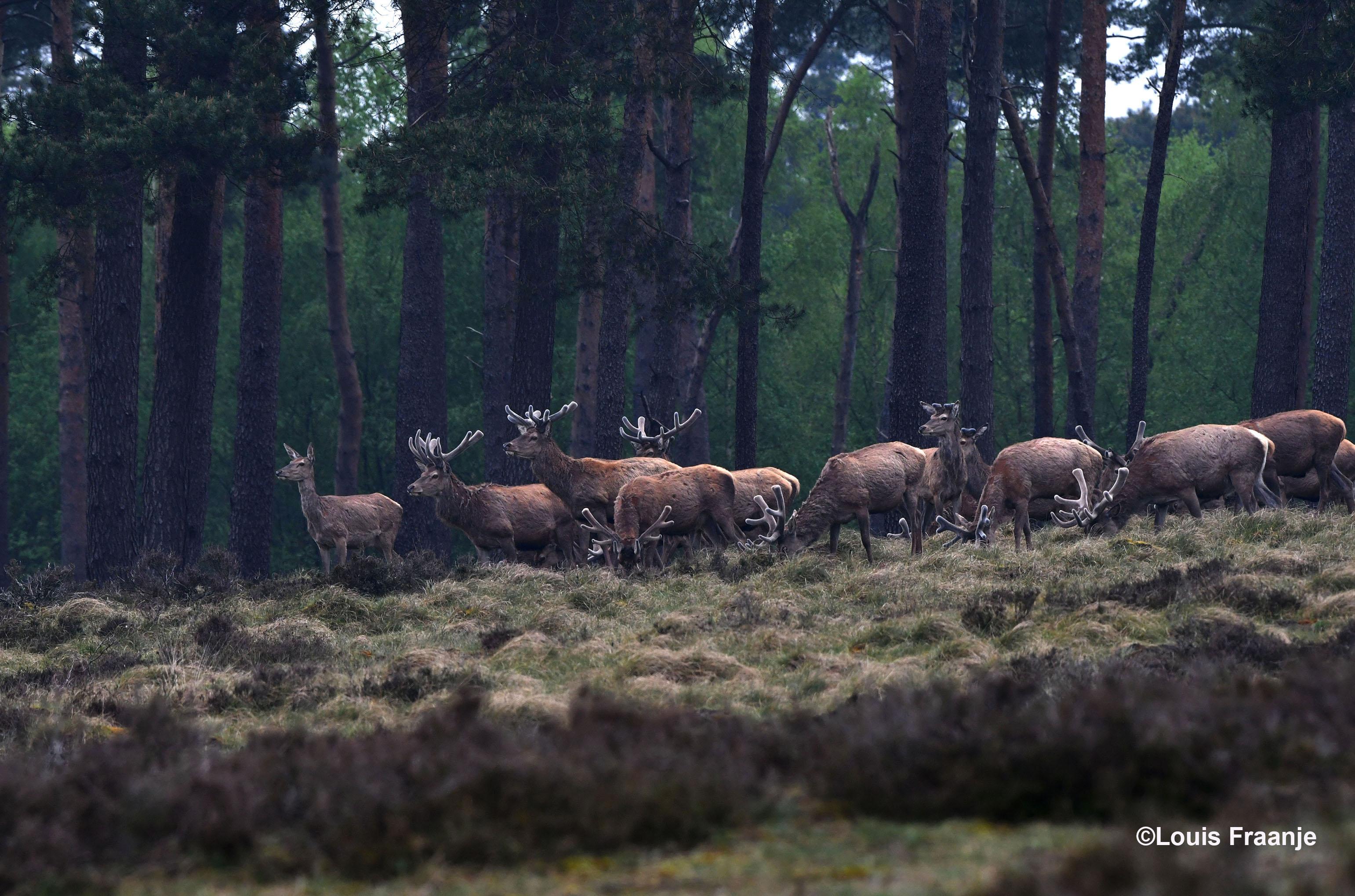 De hinde staat vooraan bij het roedel edelherten - Foto: ©Louis Fraanje