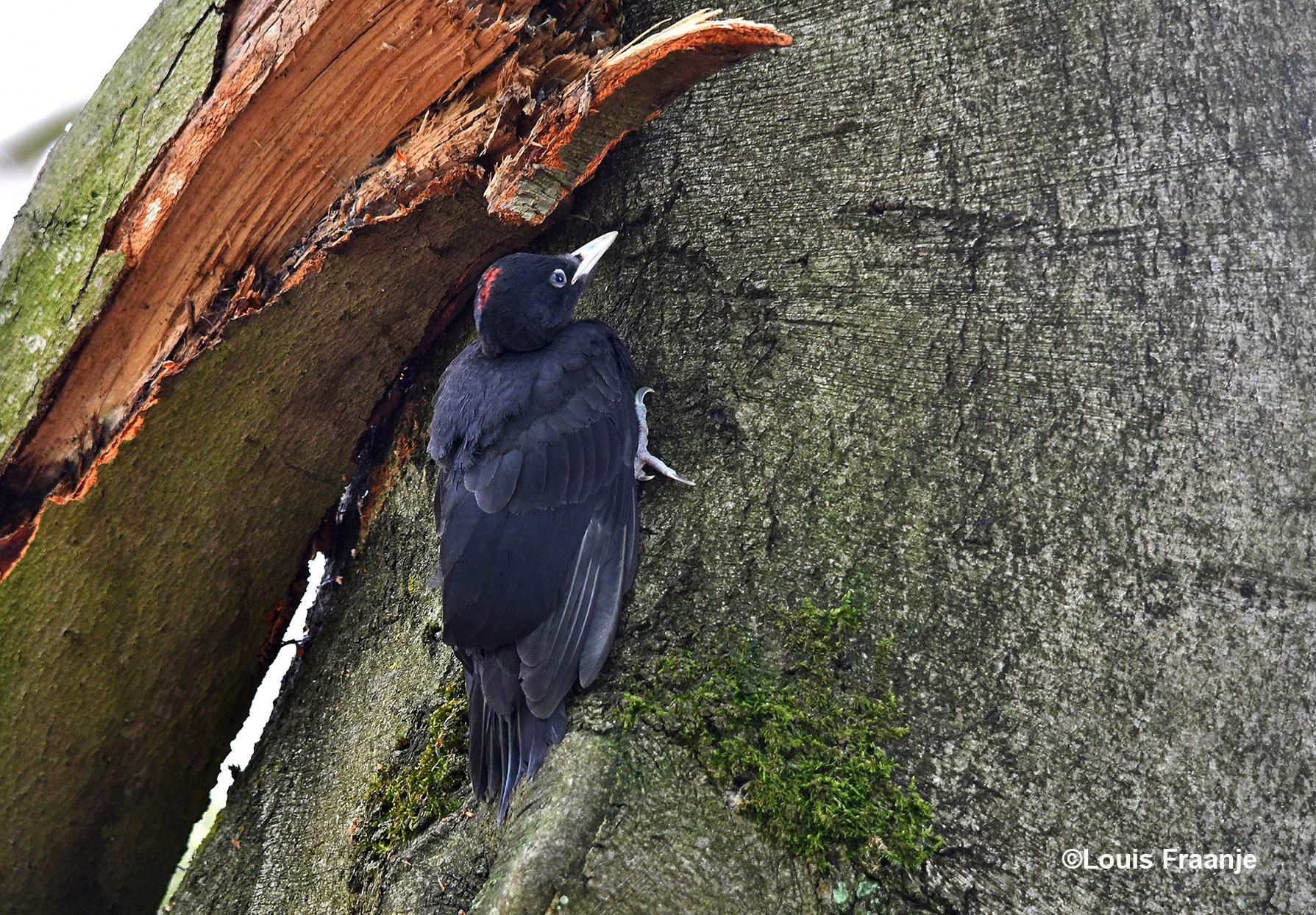 Met de telelens ontdekten wij iets verderop tegen een boomstam het net uitgevlogen jong zitten - Foto: ©Louis Fraanje