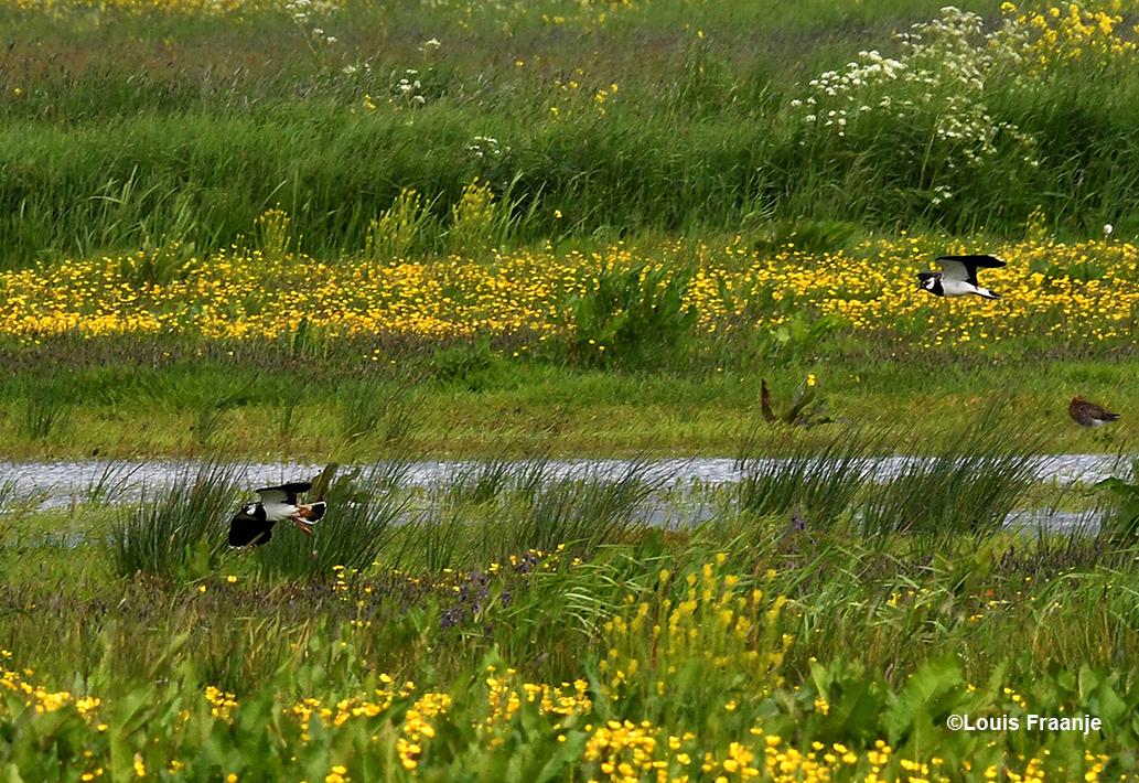 Bij een plas in het veld buitelden de kieviten over elkaar heen. Helemaal rechts staat een grutto te slapen - Foto: ©Louis Fraanje