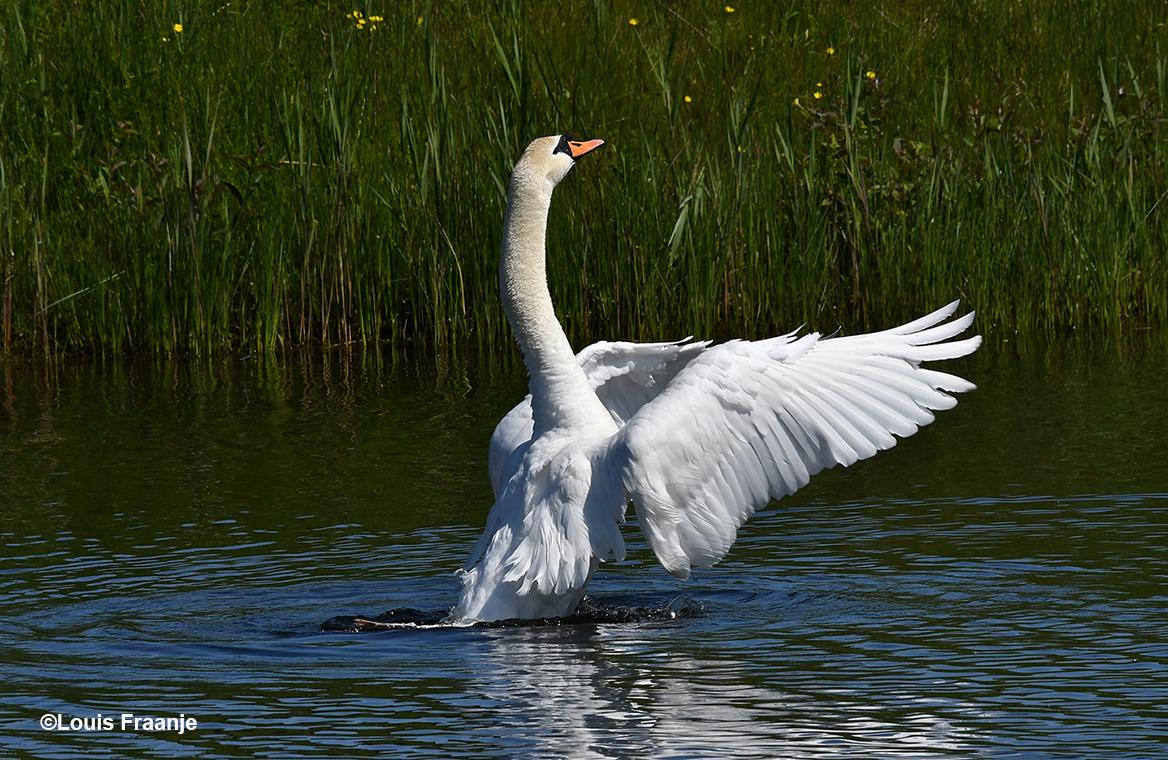 Daar stond de Knobbelzwaan met zijn vleugels naar voren gericht, als een echte dirigent op het water - Foto: ©Louis Fraanje