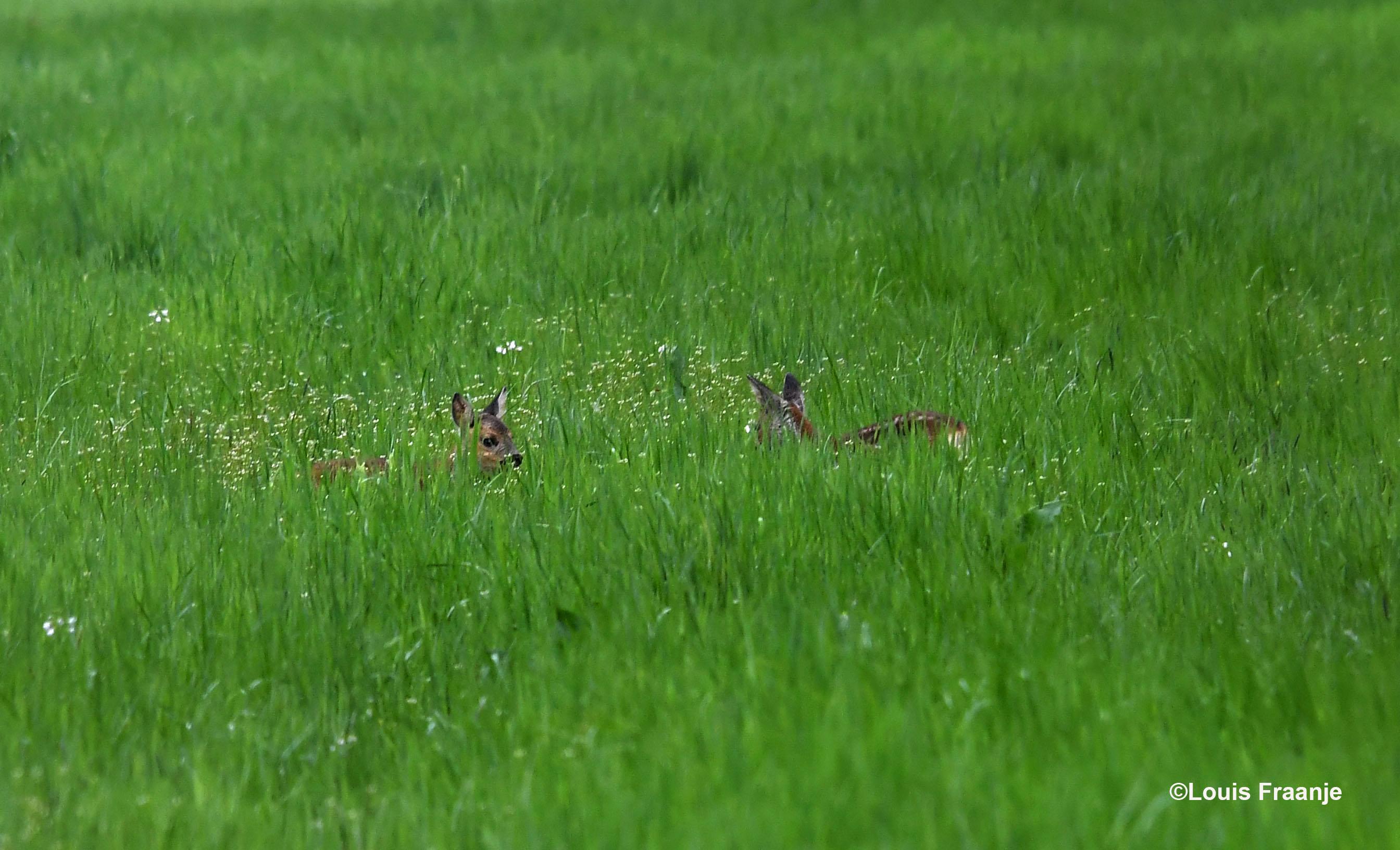 Twee reekalfjes in het hoge gras - Foto: ©Louis Fraanje