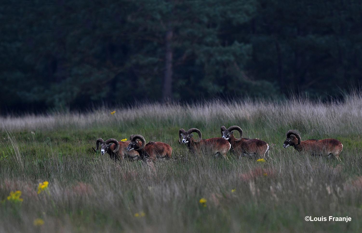 Een vijftal moeflonrammen op het Reemsterveld. Bij de voorste ram is een stukje van de linkerhoorn afgebroken - Foto: ©Louis Fraanje