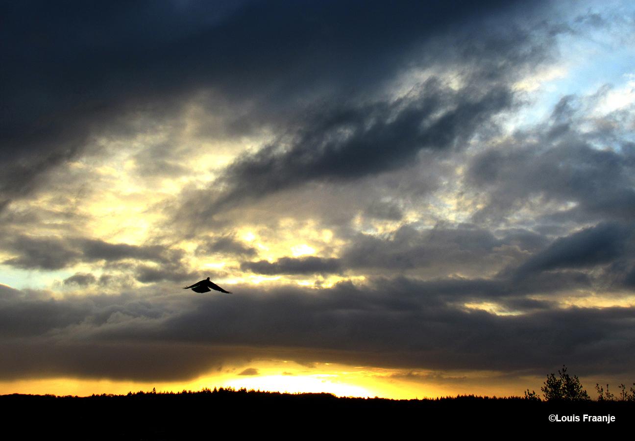 De duif en een geweldig licht aan de horizon boven de bossen van de Veluwe - Foto: ©Louis Fraanje