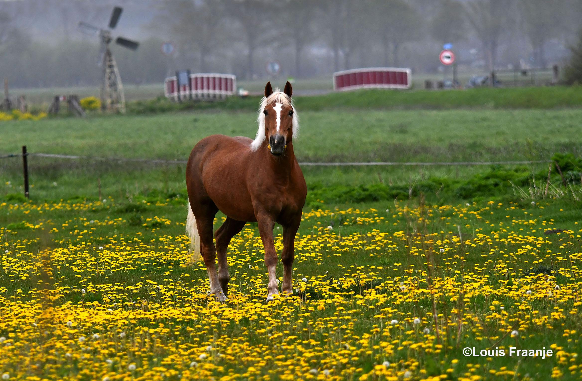 Het prachtige bruine paard met zijn witte manen, tussen de gele paardenbloemen - Foto: ©Louis Fraanje