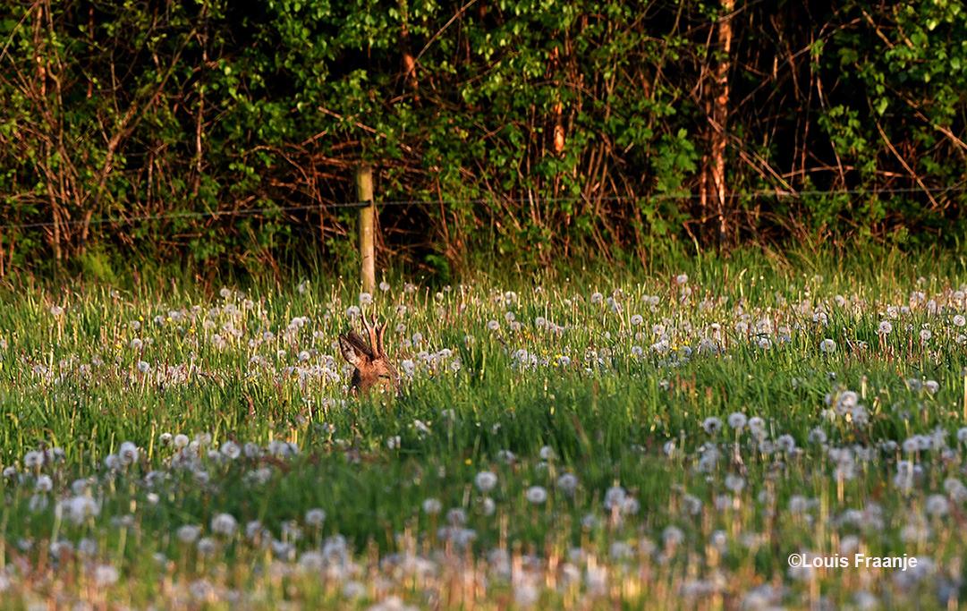 Een reebok komt net boven het gras uit met zijn gewei - Foto: ©Louis Fraanje