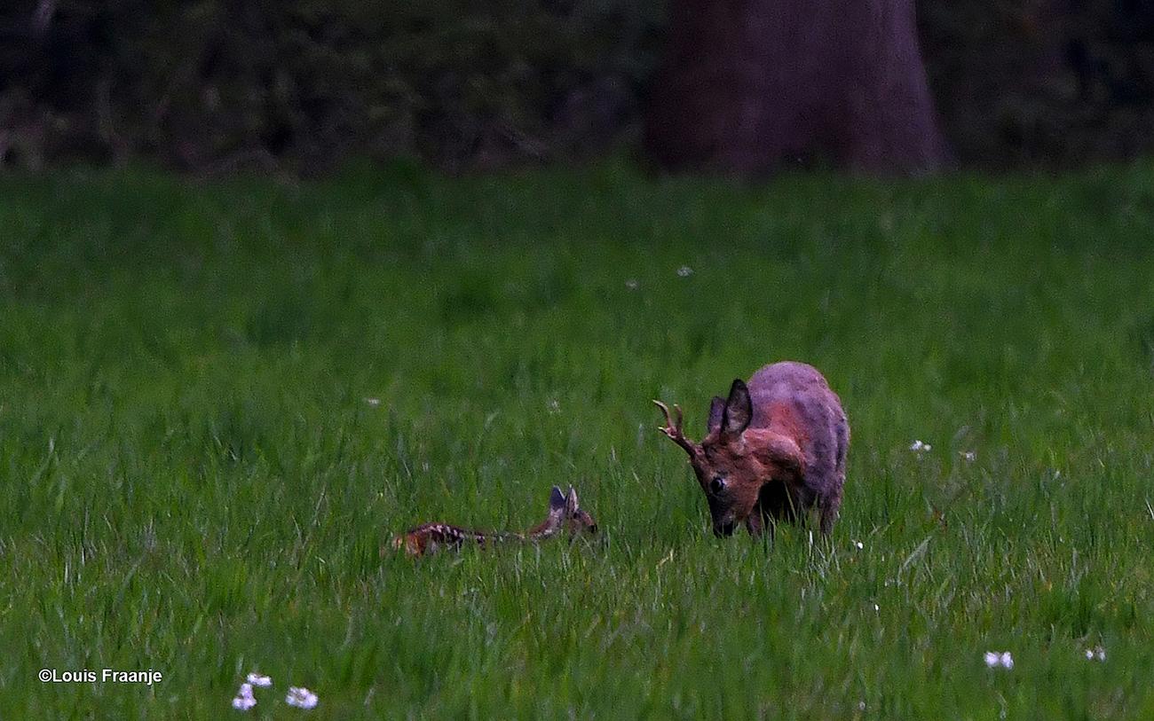 Het reekalfje heeft een ontmoeting met een jonge reebok in het hoge gras - Foto: ©Louis Fraanje