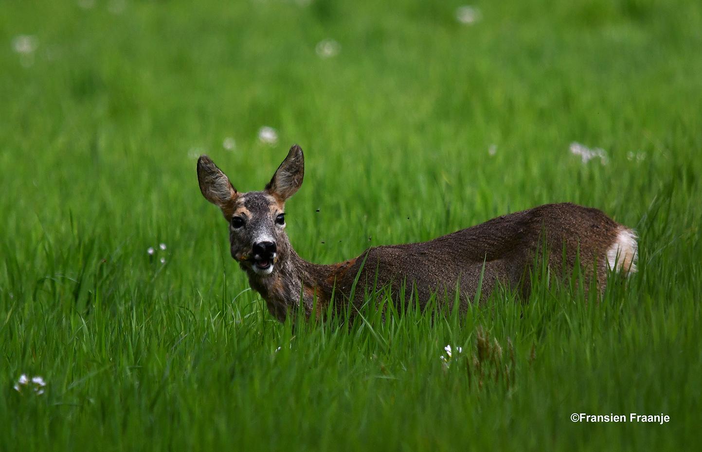 Een reegeit op lavei in het weiland - Foto: ©Fransien Fraanje