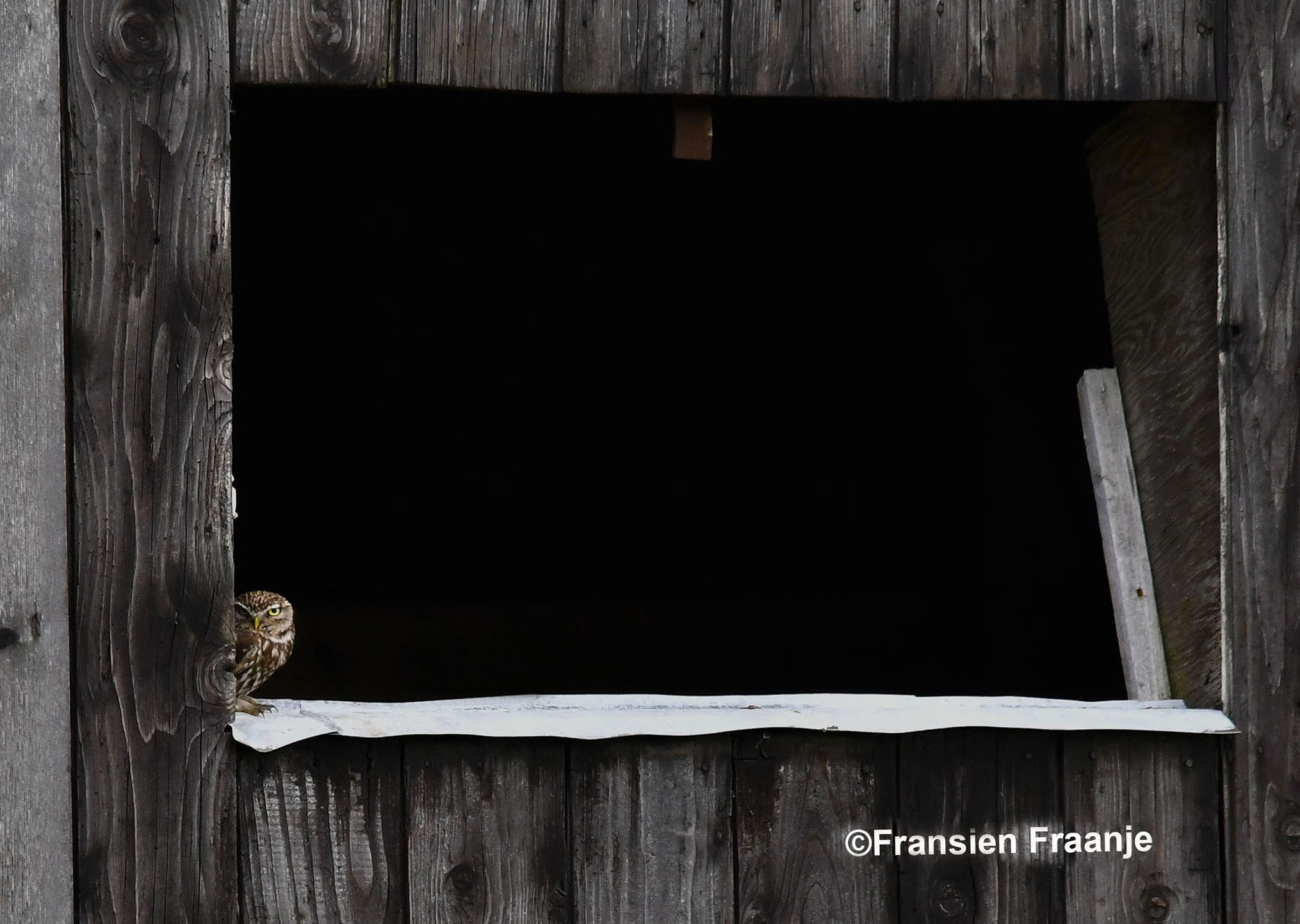 Linksonder in het open raam van een oude boerenschuur zat een steenuiltje - Foto: ©Fransien Fraanje