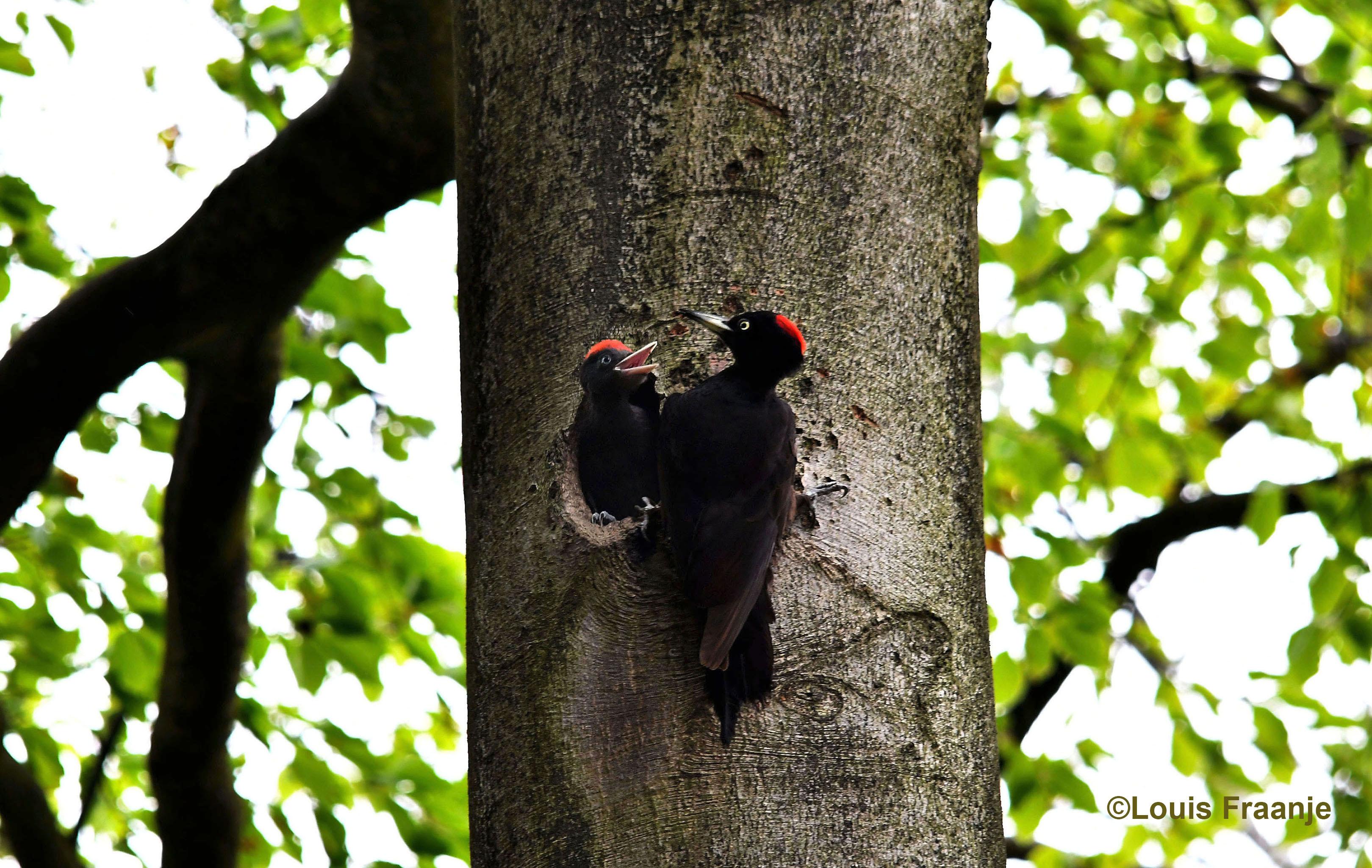 Hoog in een oude beukenboom zaten de zwarte spechten voor de nestholte - Foto: ©Louis Fraanje