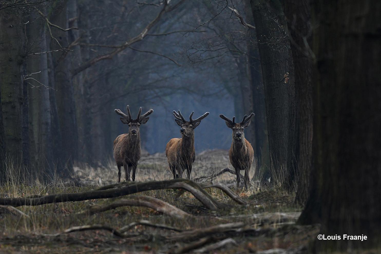 'Oog in oog' met een drietal edelherten in bastgewei - Foto: ©Louis Fraanje