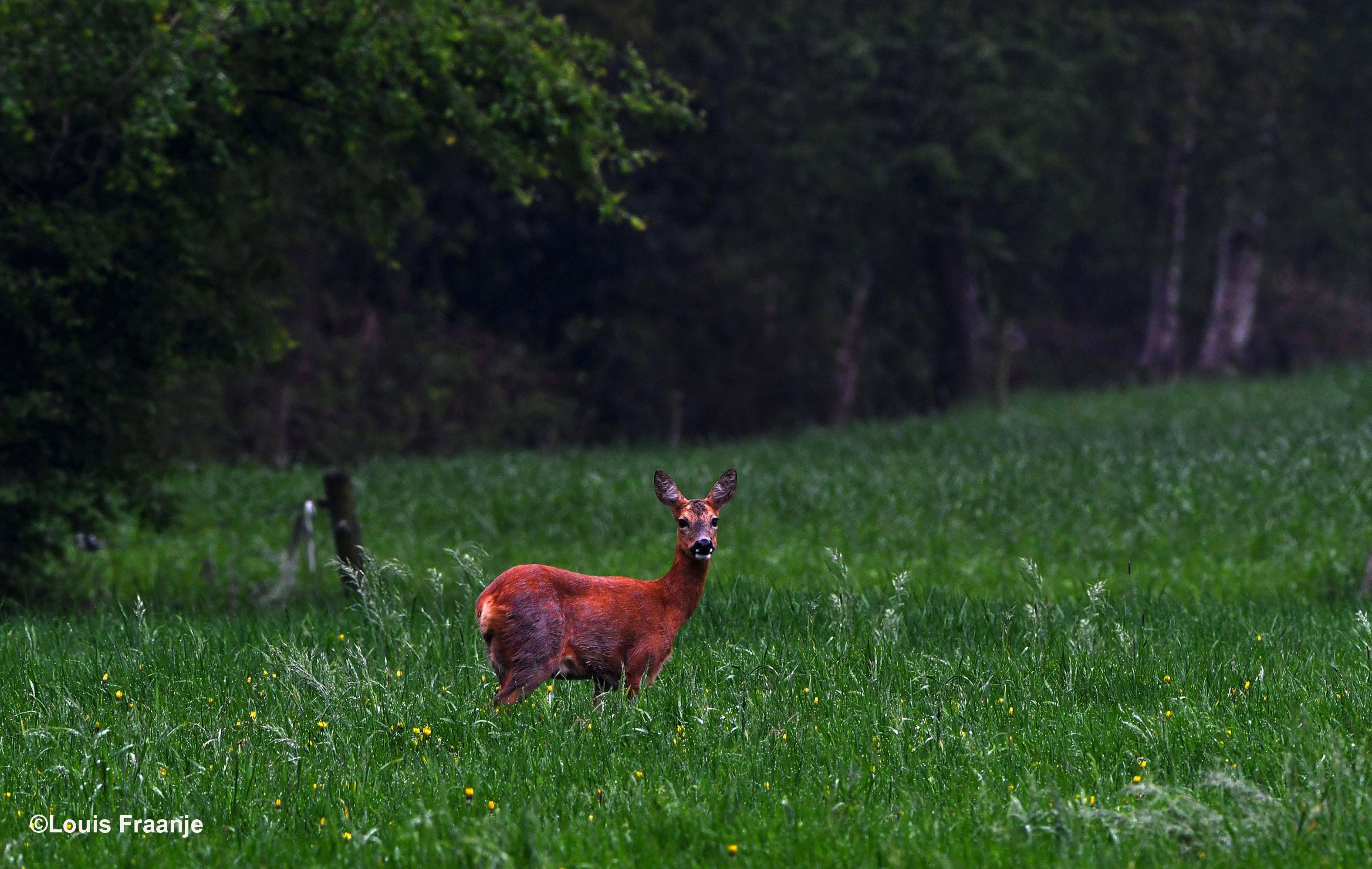 Een prachtige bruine reegeit - die het meeste winterhaar al kwijt was - in het hoge groene gras - Foto: ©Louis Fraanje