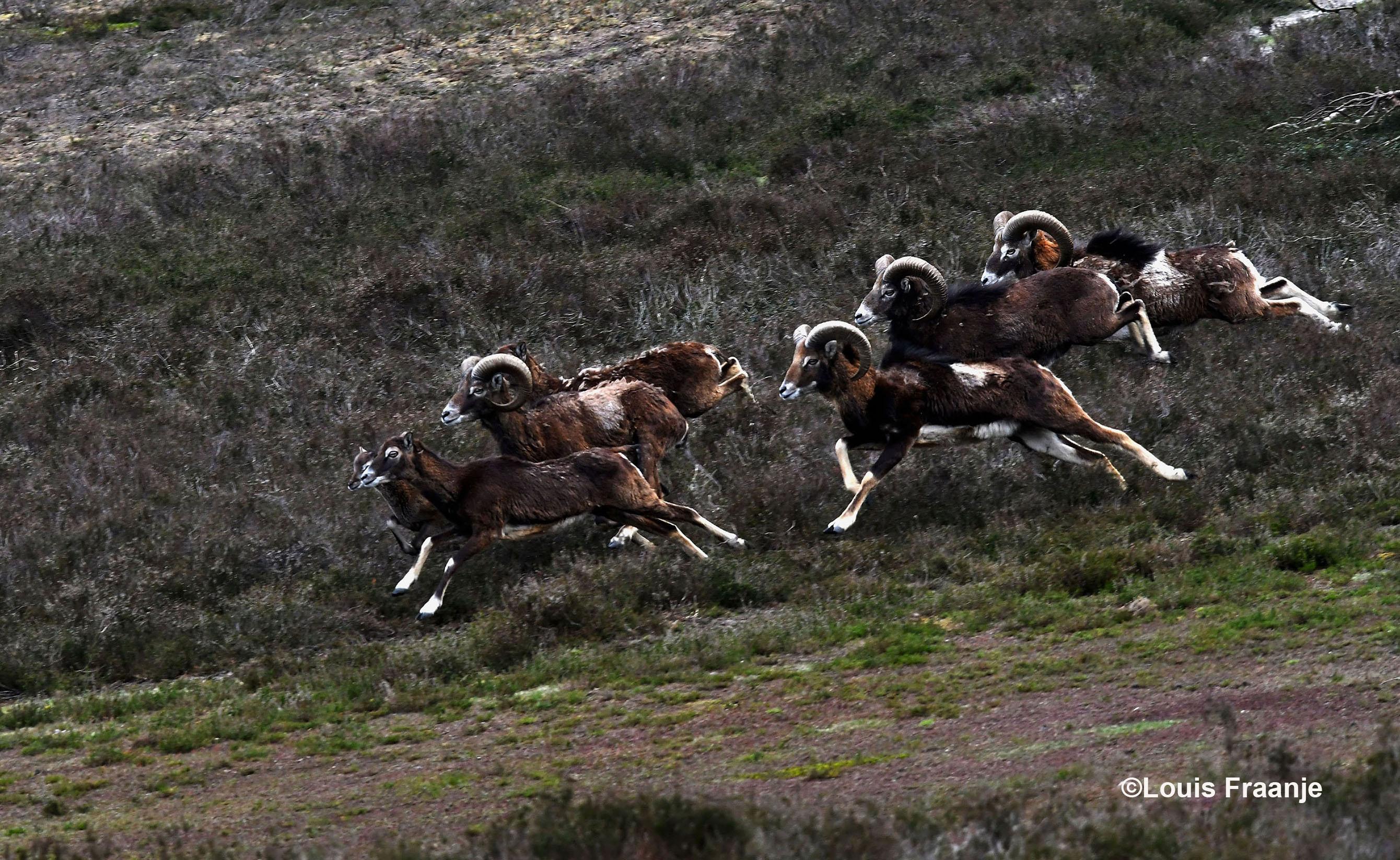 En dan opeens... komen er zomaar onverwachts een stelletje moeflons voor je langs rennen - Foto: ©Louis Fraanje