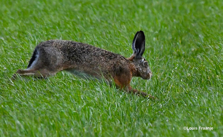 En dan ineens schiet er een haas voor je langs door het gras. Nou... dan weet je meteen ook weer hoe de hazen lopen vandaag - Foto: ©Louis Fraanje