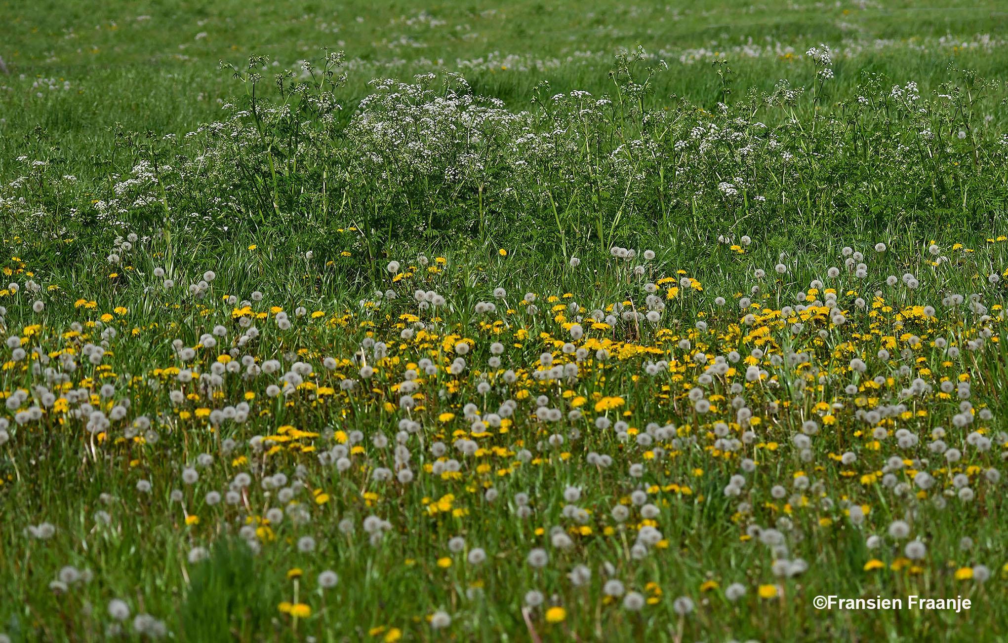 Bloemrijke weilanden vol met paardenbloemen, waarvan er ook al heel veel zijn uitgebloeid - Foto: ©Fransien Fraanje