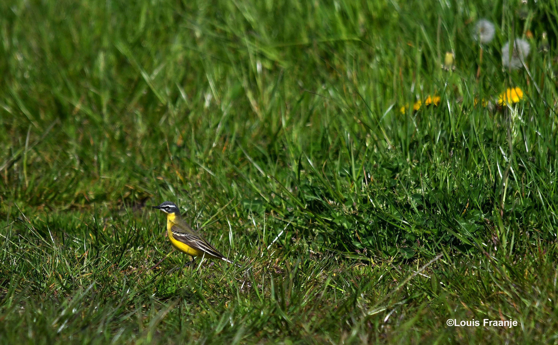 Ineens ontdekken we iets verderop een prachtige gele kwikstaart in het gras - Foto: ©Louis Fraanje