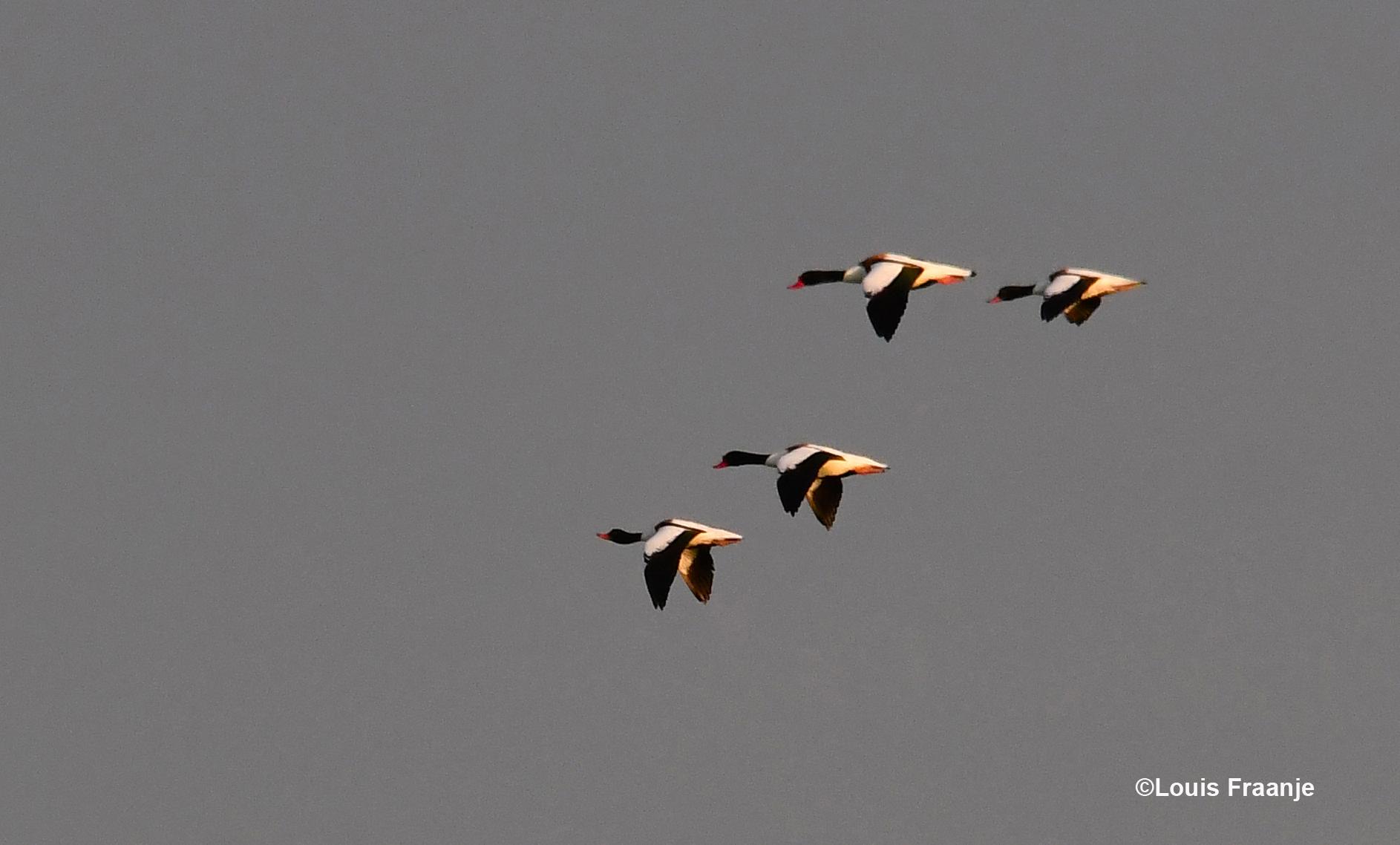 Onderwijl komen er een stel Bergeenden hoog over ons heenvliegen - Foto: ©Louis Fraanje