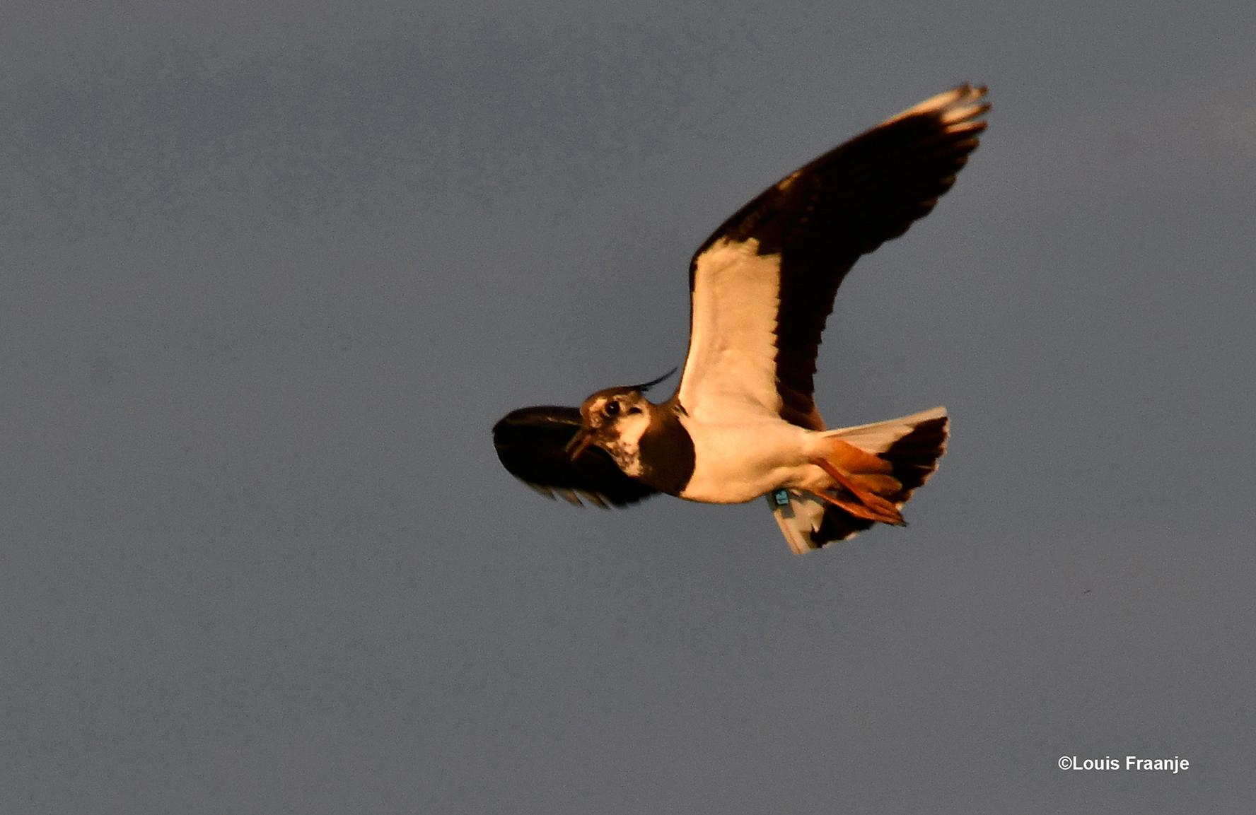 Een Kievit komt laag over ons heen buitelen, die zal dus wel een nest vlak in de buurt hebben - Foto: ©Louis Fraanje
