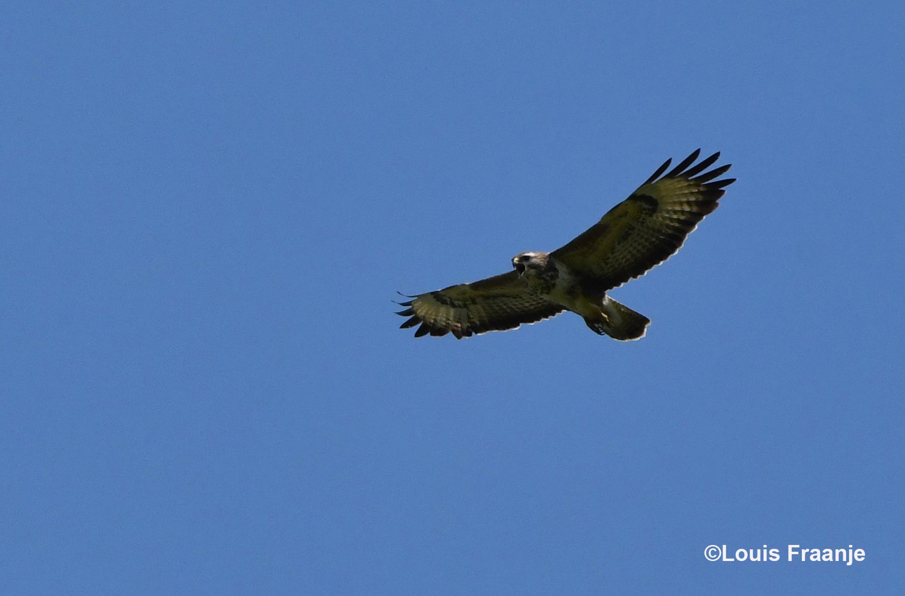 En daar zweefde de schreeuwende buizerd hoog boven mij in de lucht - Foto: ©Louis Fraanje