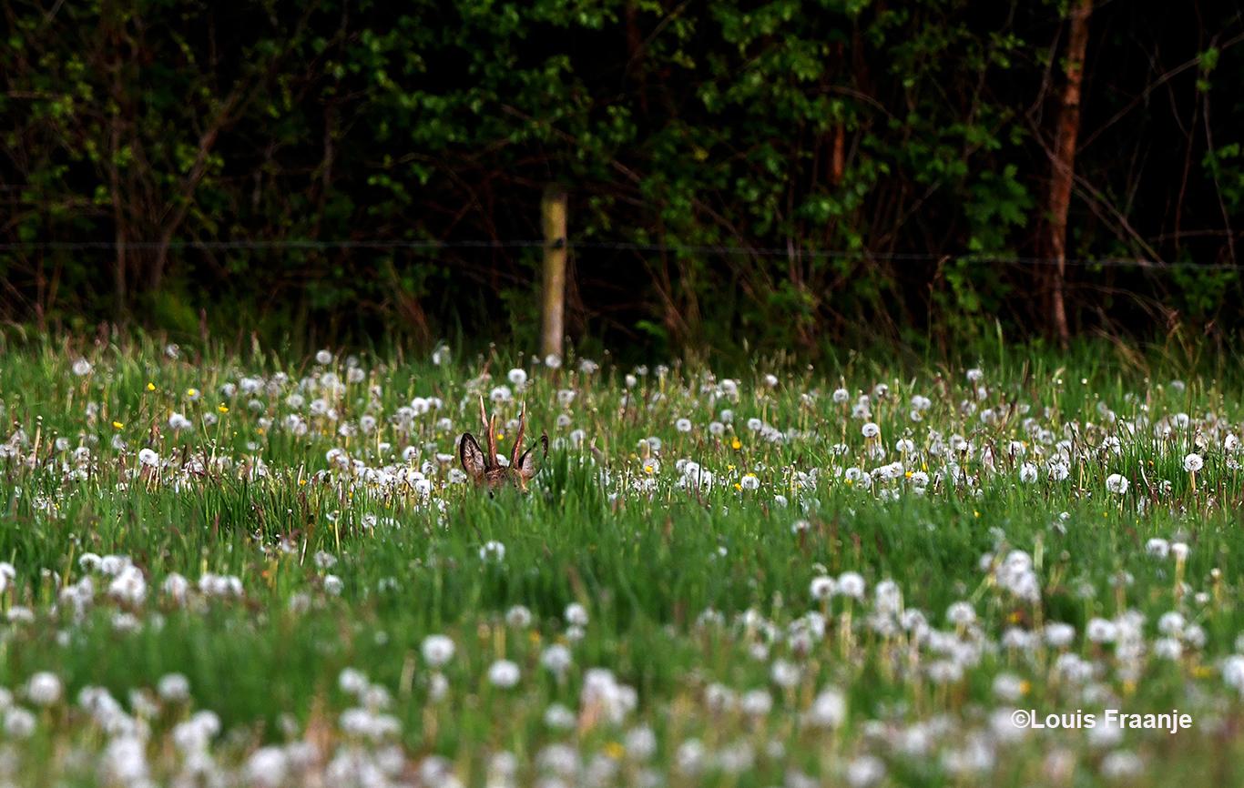 Tussen de grassprieten door speurt de bok naar onraad - Foto: ©Louis Fraanje