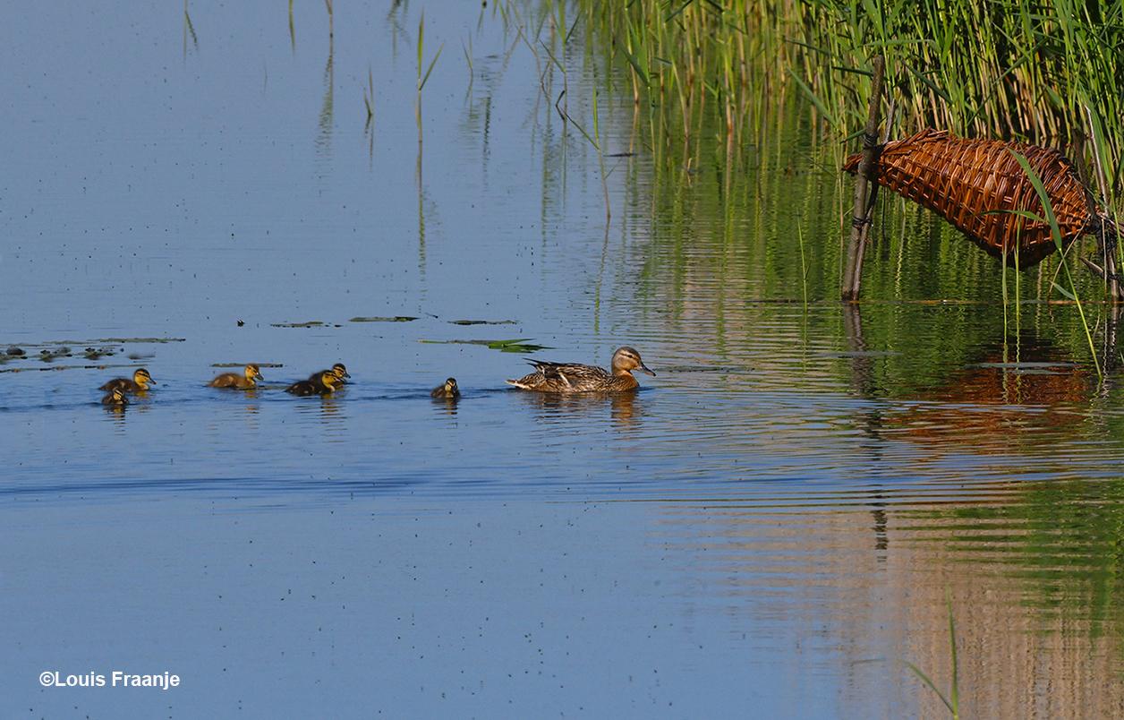 We zijn ook nog even bij het Wilde Eenden-gezin wezen kijken, die waren inmiddels al uit de korf - Foto: ©Louis Fraanje