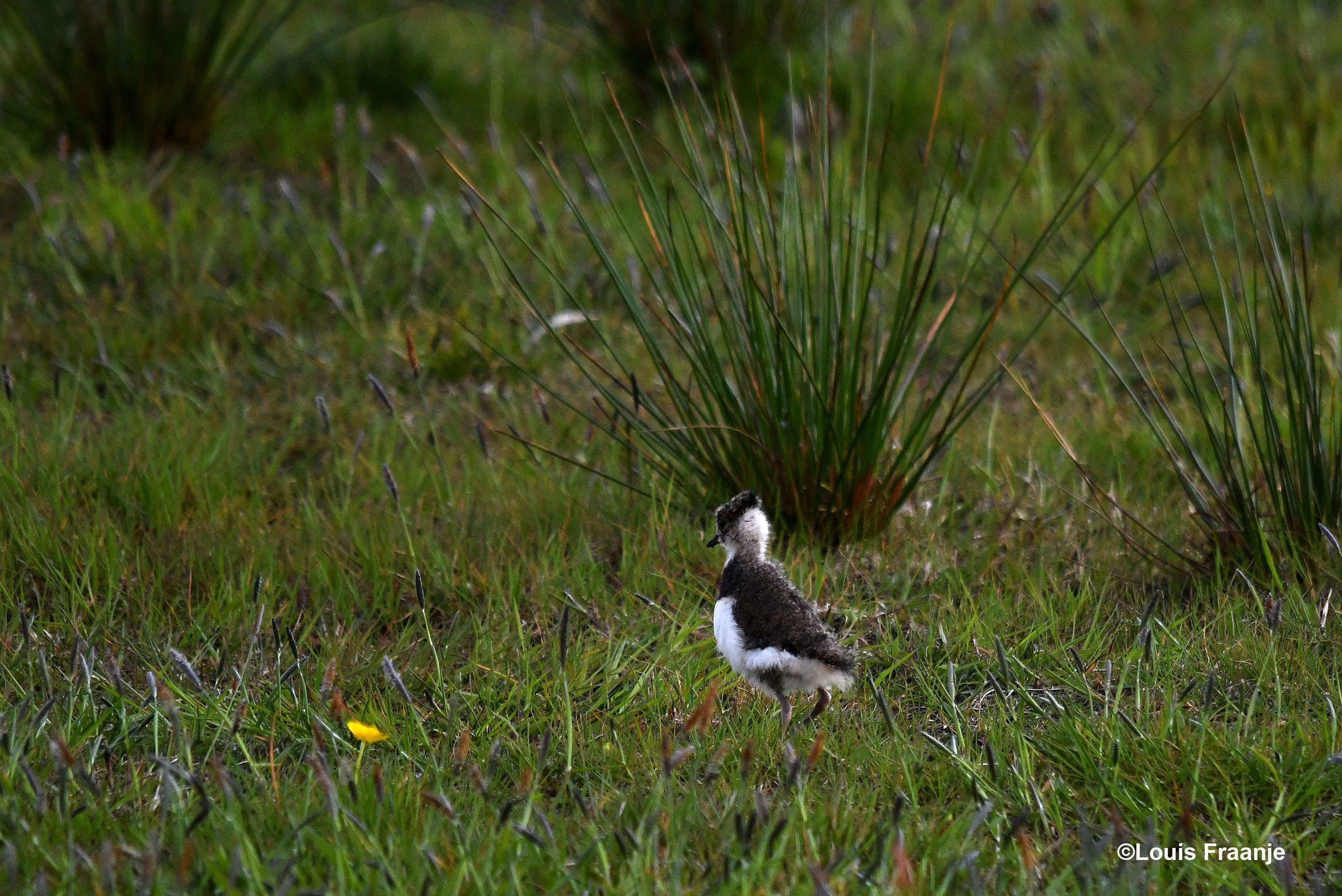 ontdekt een jonge kievit - Foto: ©Louis Fraanje