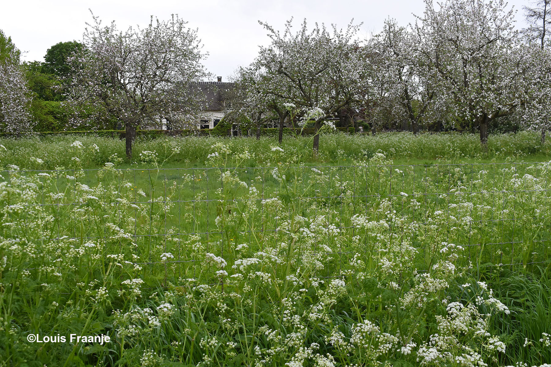 En tenslotte bijna aan het einde van de Dijkgraaf richting Ede, deze prachtig bloeiende boomgaard, met een weelderig tapijt van fluitekruid - Foto: ©Louis Fraanje