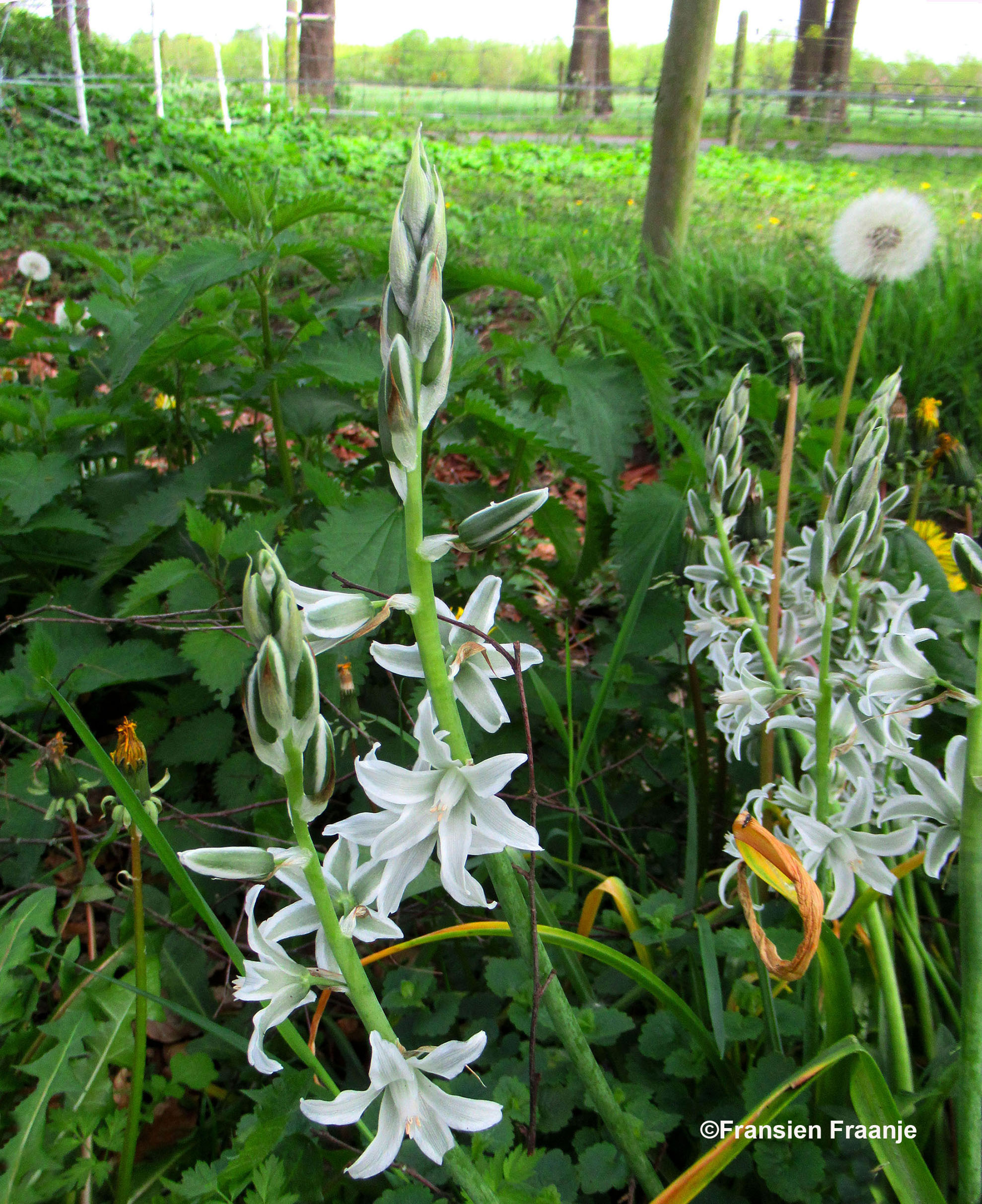Deze speciale plant stond in de wegberm, het is knikkende vogelmelk - Foto: ©Fransien Fraanje
