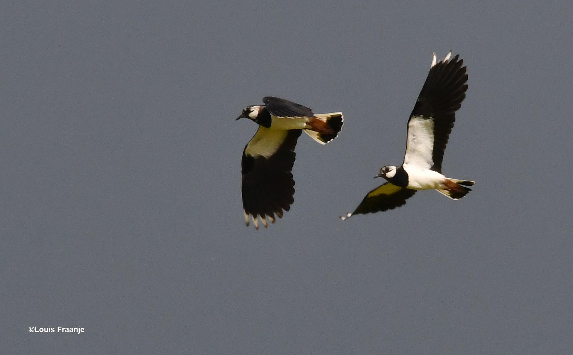 Kieviten zijn de toppers onder de weidevogels - Foto: ©Louis Fraanje