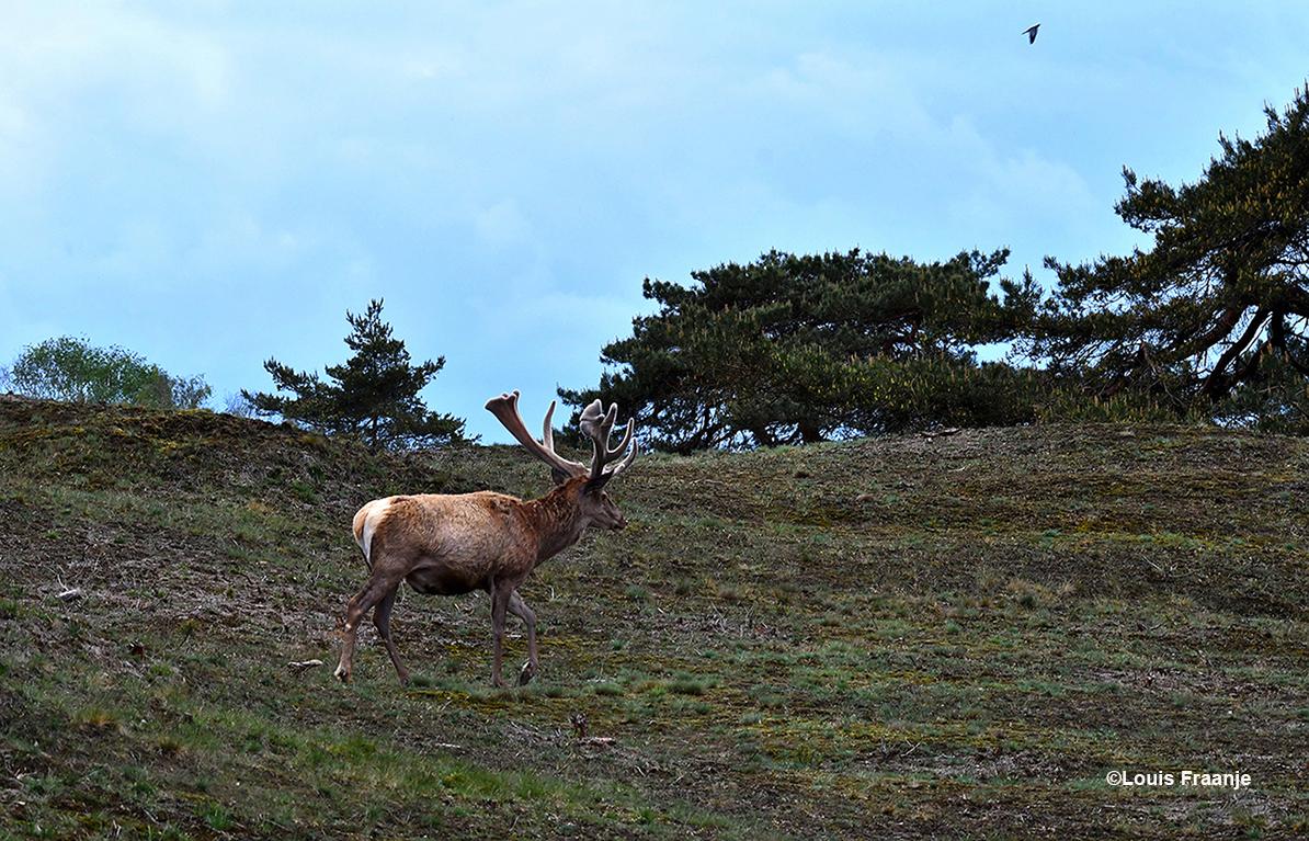 Hubertus op weg naar het Otterlose Zand - Foto: ©Louis Fraanje