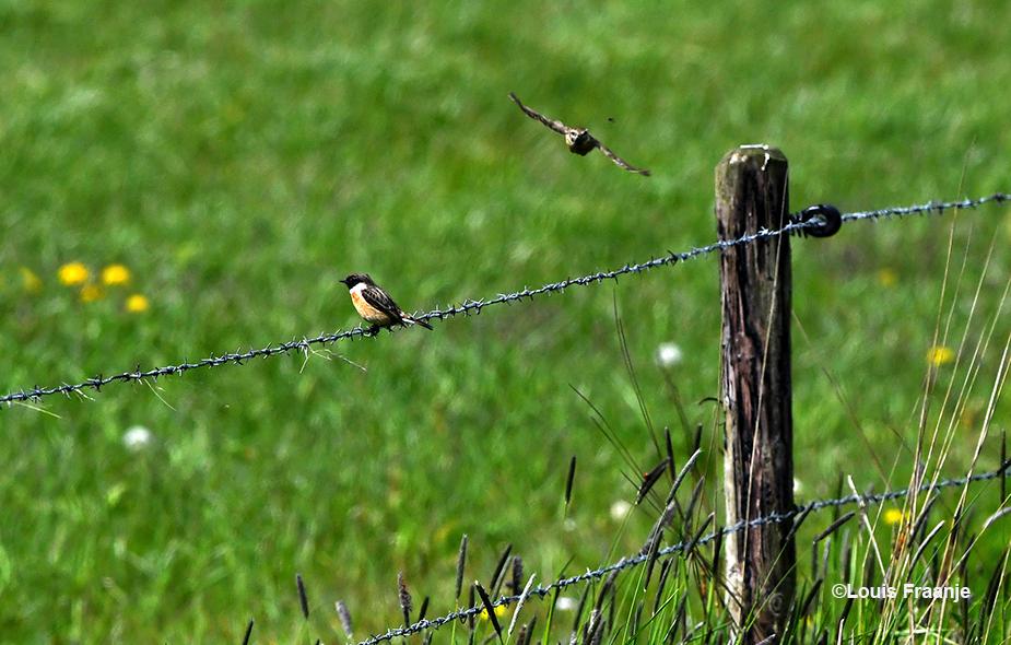Mannetje roodborsttapuit op de draad te wachten op het vrouwtje, die aan komt vliegen - Foto: ©Louis Fraanje
