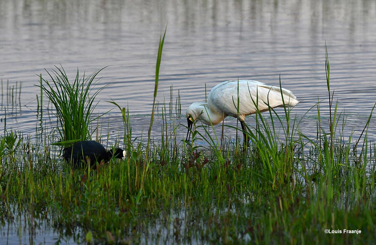 De Meerkoet trekt zich weinig aan van de passerende Lepelaar - Foto: ©Louis Fraanje