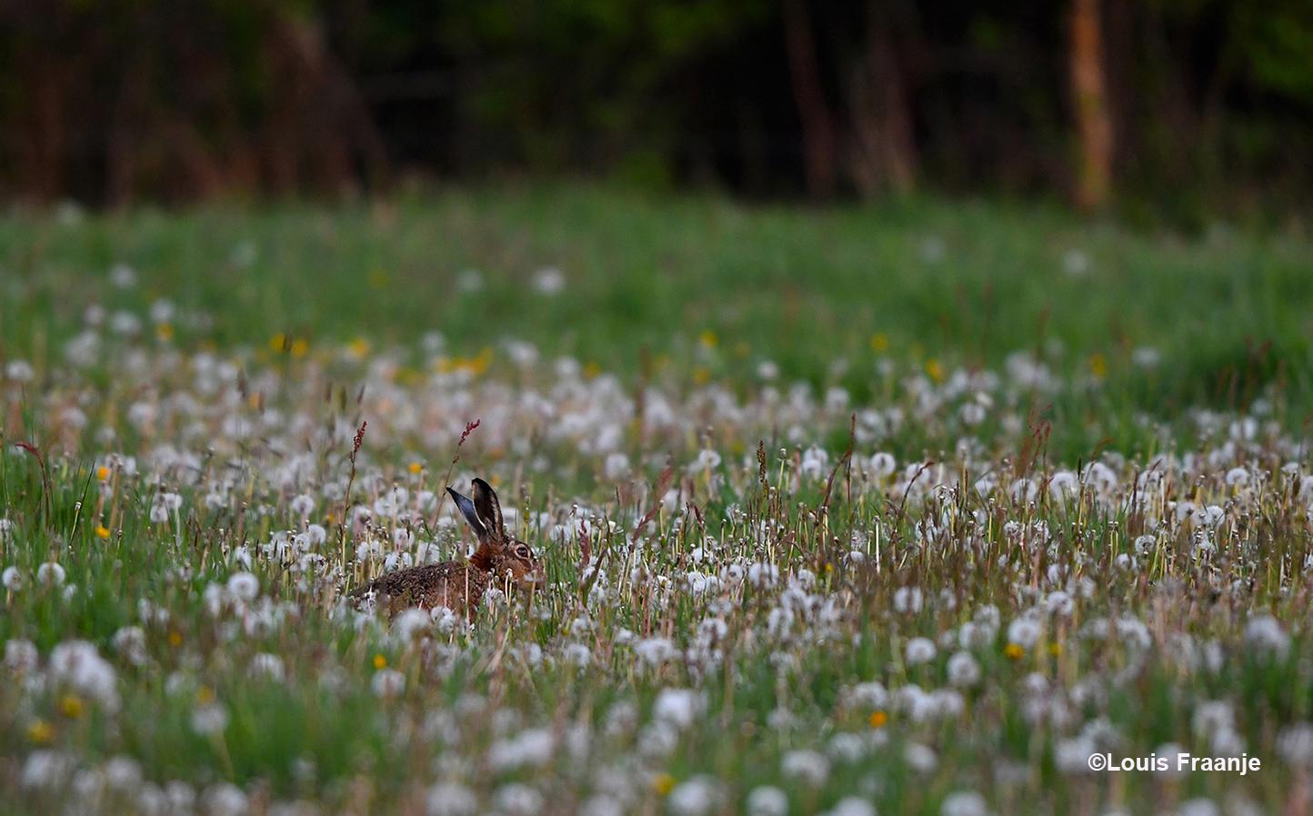 Ineens komt er tussen de uitgebloeide paardenbloemen een haas tevoorschijn - Foto: ©Louis Fraanje
