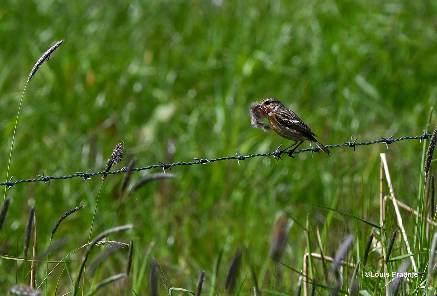 Zij zorgt wel voor de aankleding van het nest - Foto: ©Louis Fraanje