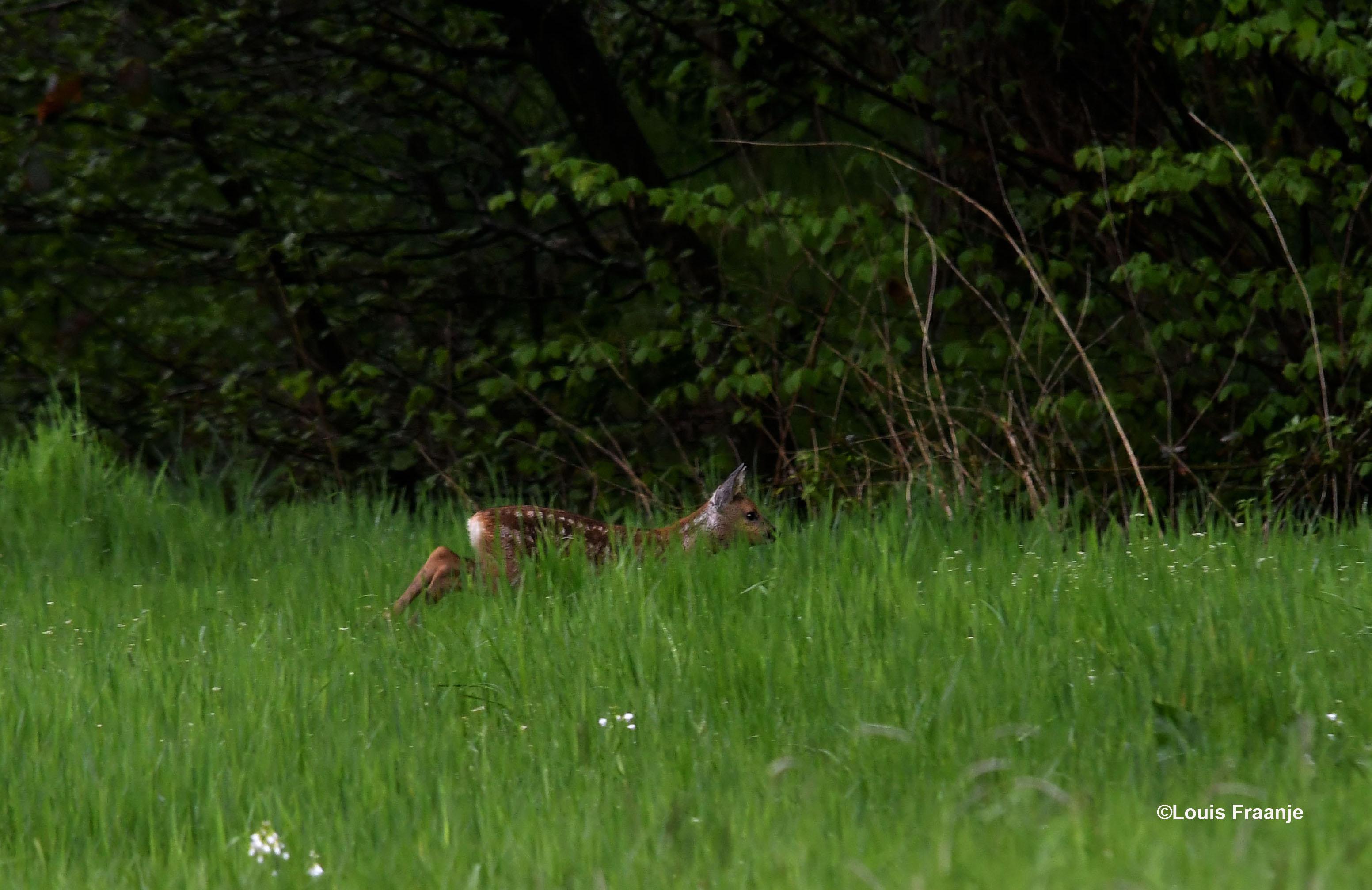 Daar in het bos is veilige dekking en daar wacht moeder reegeit - Foto: ©Louis Fraanje
