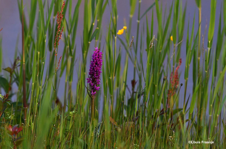 En dan ineens ontdek je zo'n prachtige Orchidee tussen het riet - Foto: ©Louis Fraanje