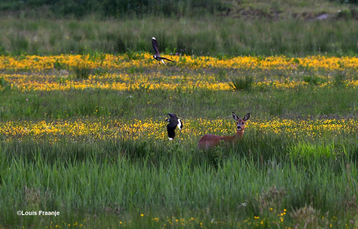 Verderop in het veld staat een Reegeit, die opgeschrikt werd door buitelende en fladderende Kieviten - Foto: ©Louis Fraanje