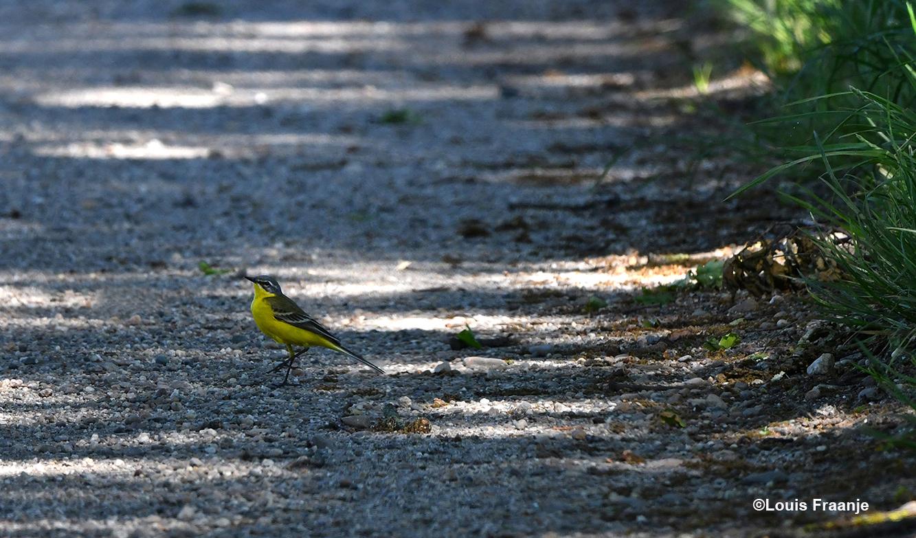 Vanuit de berm van de weg komt een Gele Kwikstaart de weg opwandelen - Foto: ©Louis Fraanje