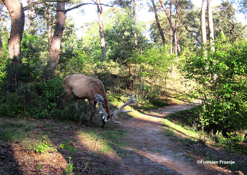Onverstoorbaar trekt Hubertus door de bossen van de Hoge Veluwe - Foto: ©Fransien Fraanje