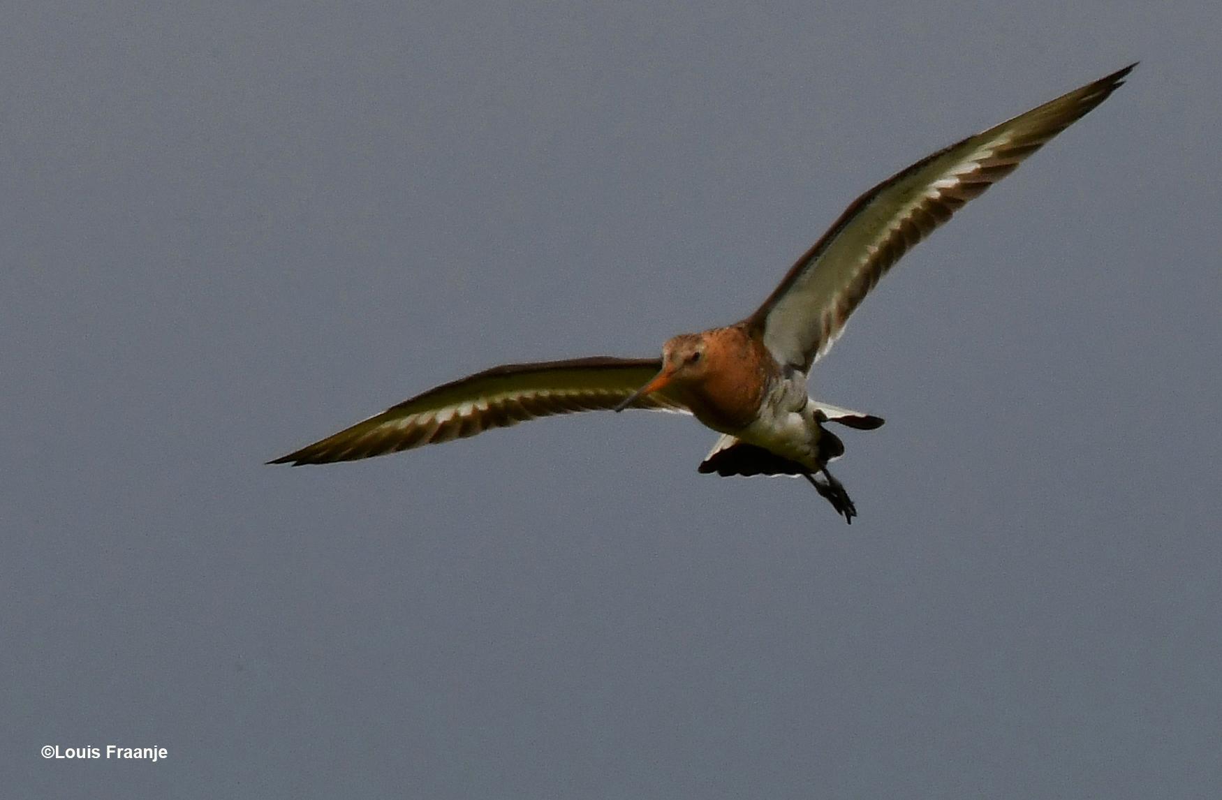 De grutto is een wat kleurrijker weidevogel dan de kievit - Foto: ©Louis Fraanje