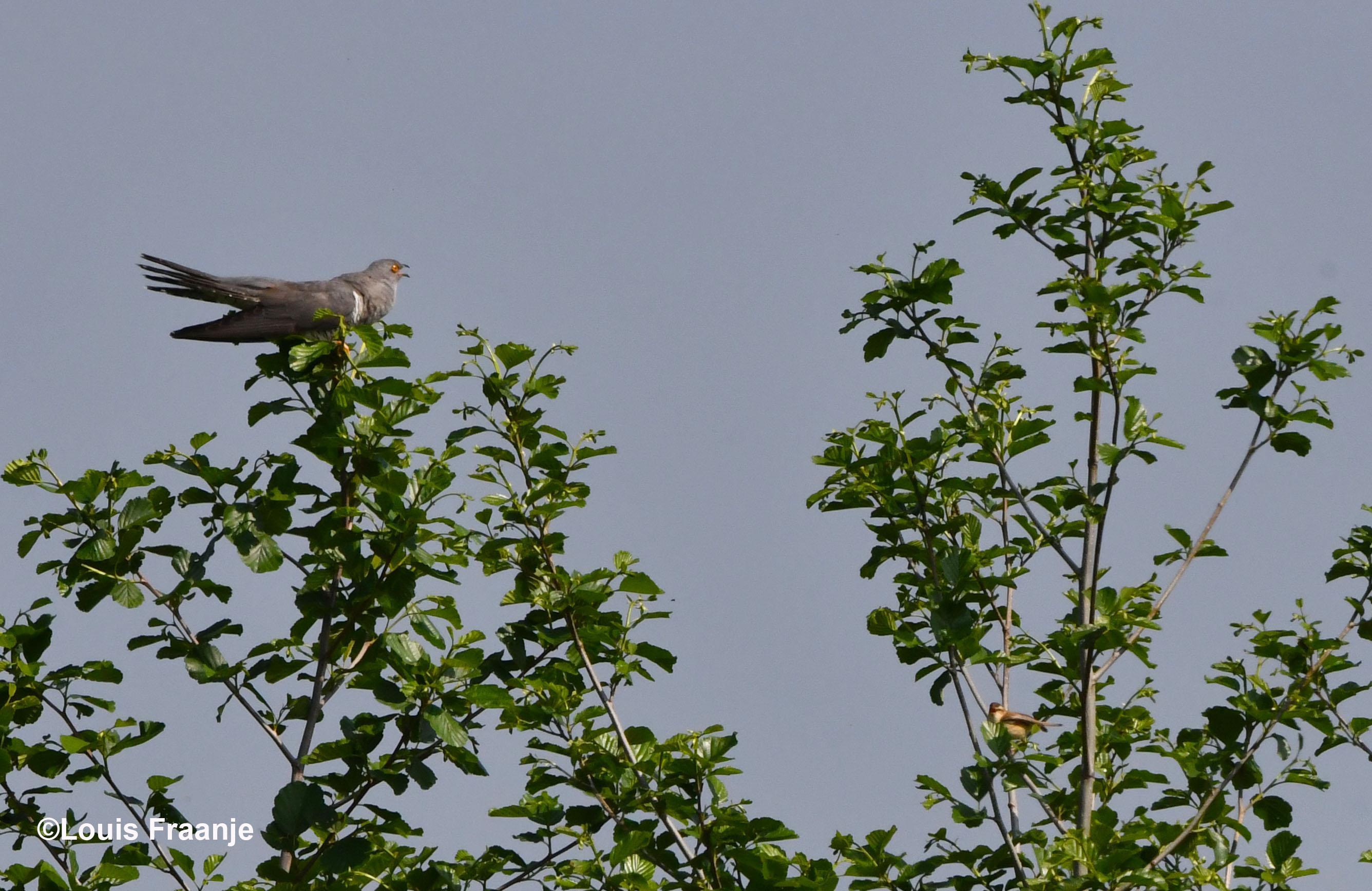 Roepende koekoek in de boomtop en rechtsonder zie je een pleegouder zitten - Foto: ©Louis Fraanje