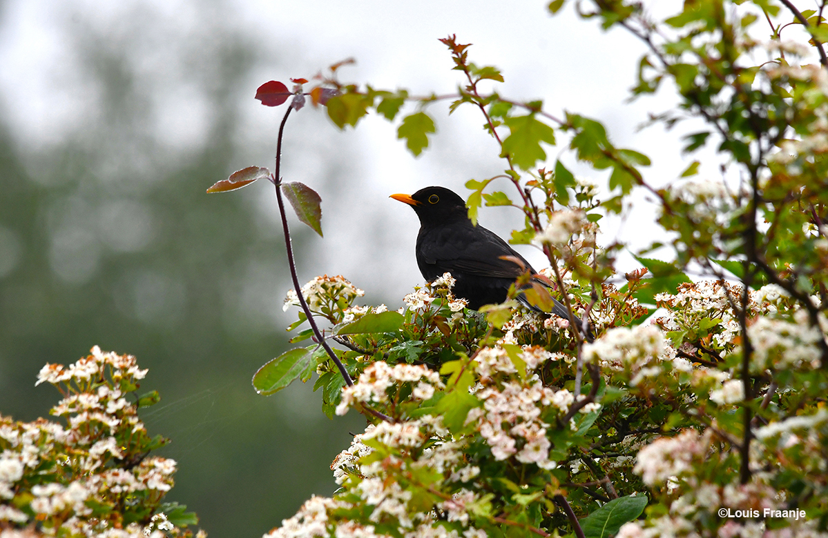Een merel in de nog bloeiende meidoorn - Foto: ©Louis Fraanje