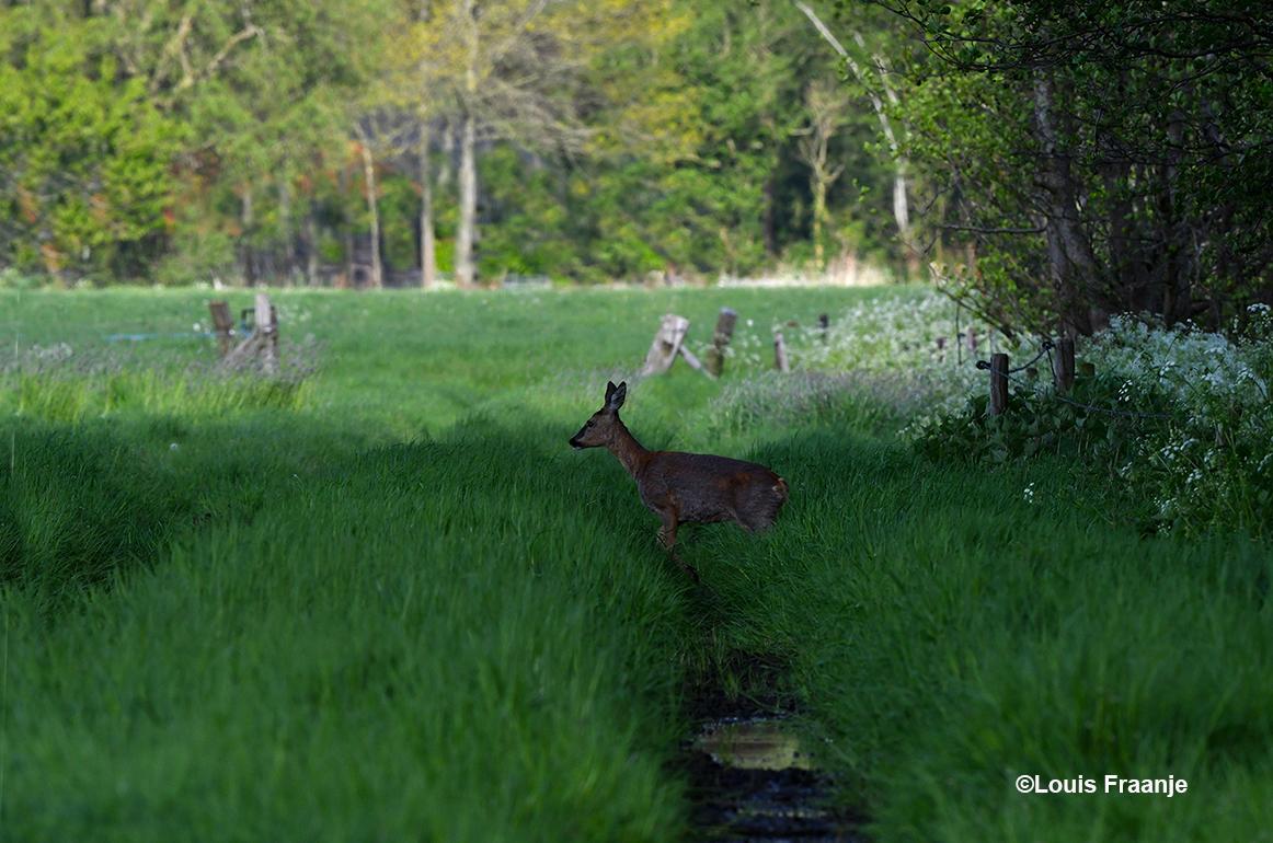 Na een uurtje wachten komt er een reegeit uit de dekking van het bos tevoorschijn - ©Louis Fraanje